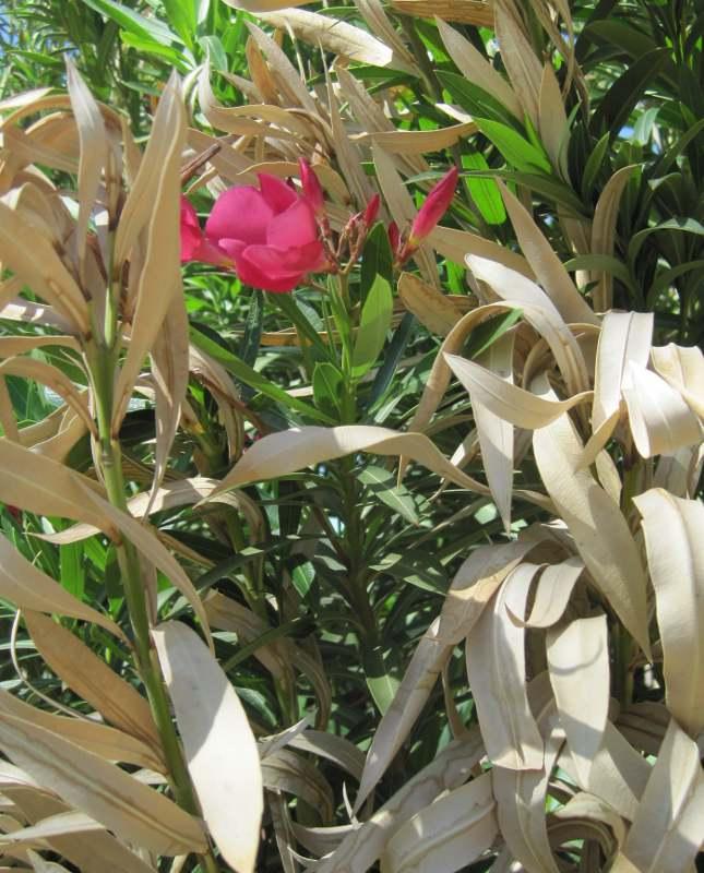 oleander-flower-bloom-over-dry-leaves