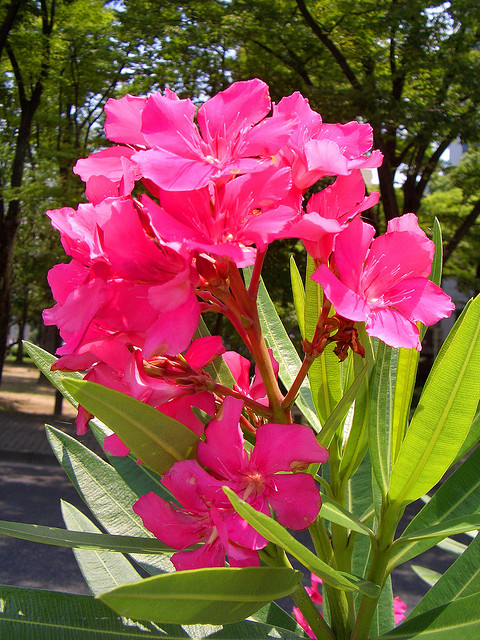Oleander-shrub-in-Morocco