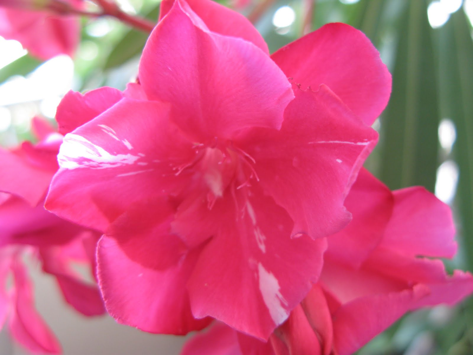 oleanders-are-the-most-poisonous-plant-in-garden