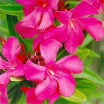 pink-oleander-was-the-first-which-bloom-after-atomic-bomb-explosion-in-hiroshima