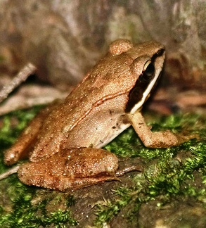 wood-frog-heart-stop-during-winter