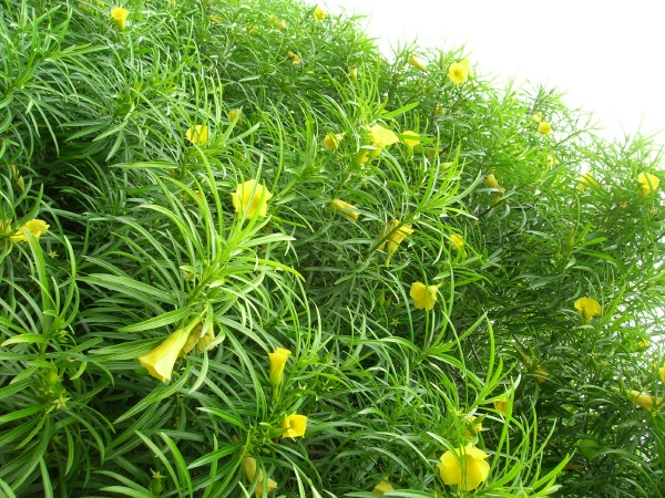 Yellow-Oleander-flowers-are-toxic