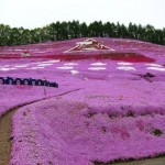 Higashimokoto-Flower-Park-in-japan-must-visit