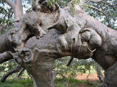 Glencoe-baobab-largest-tree