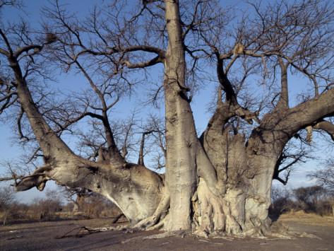Grootboom-Baobab-tree-oldest-living-tree