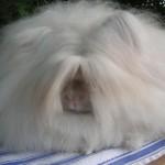 angora-rabbit-are-very-playful