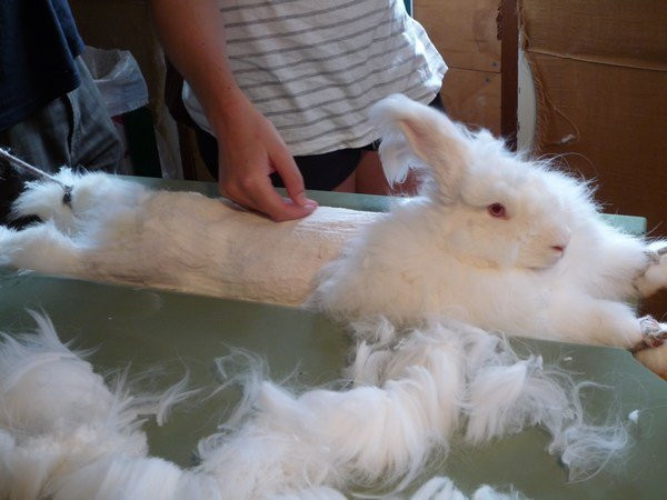 Angora Rabbit Shearing