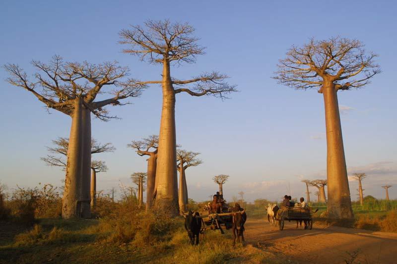 baobab-tree-in-africa