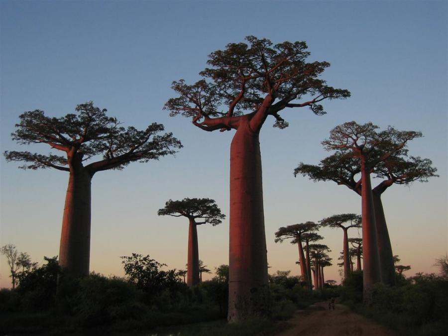 madagascar-baobab-trees-widest-and-largest-tree