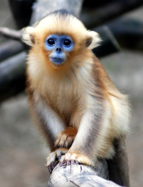 Blue-Faced-Snub-Nosed-Monkey-tonkin-now-total-17-in-world-exist