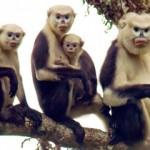 Snub Nosed Monkey – Tonkin or Dollman