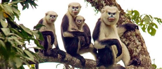 Dollman-tonkin-snub-nosed-monkey