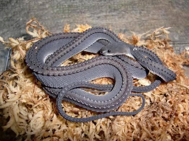 Dragon-Snake
