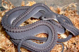dragon-snake-black