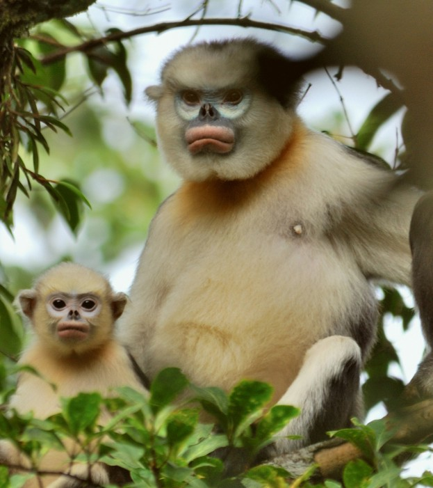 mother-and-baby-monkey-snub-nosed