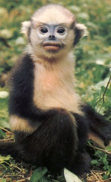 rediscovered-in-1992-once-believed-to-be-extinct-tonkin-snub-nosed-monkey