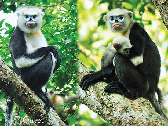 tonkin-monkey-in-tree
