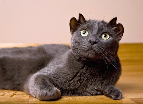 yoda-cat-has-four-ears