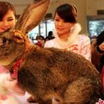 Herman –A-German-Giant-Rabbit