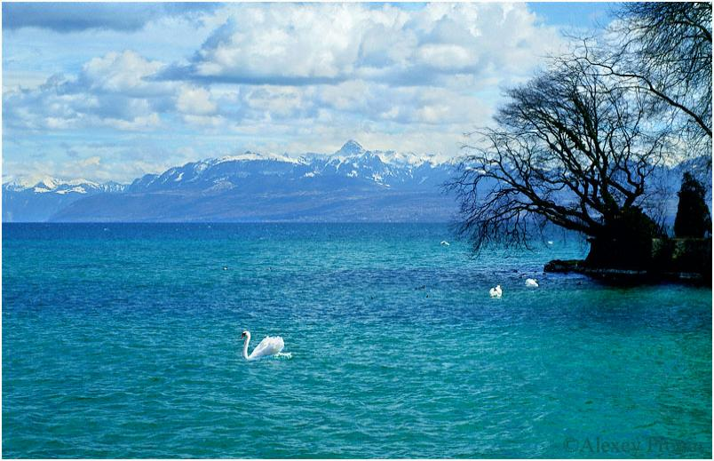 Swans-swim-over-lake-geneva