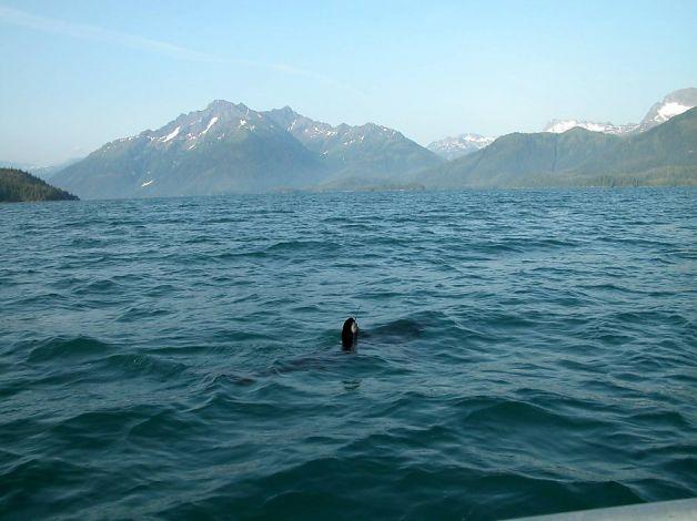 gulf-of-alaska-sea-lion