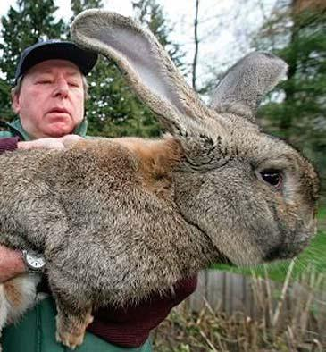 herman-Berlins-Biggest-Bunny-just-a-meter-long-of-the-total-height-of-an-average-domestic