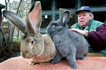 herman-Berlins-Biggest-Bunny