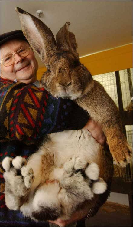 herman-the-giant-bunny-Weighing-7.7-kilograms