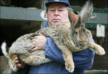 herman-the-giant-bunny