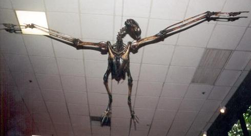 Argentavis-Magnificens-skeleton