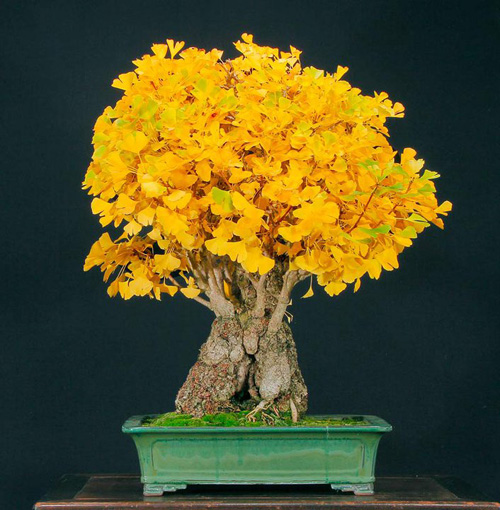 Ginkgo-colorful-bonsai-tree