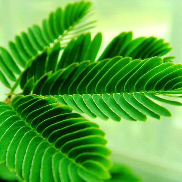 Mimosa-pudica-leave