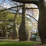 The-toborochi-tree-Ceiba-speciosa