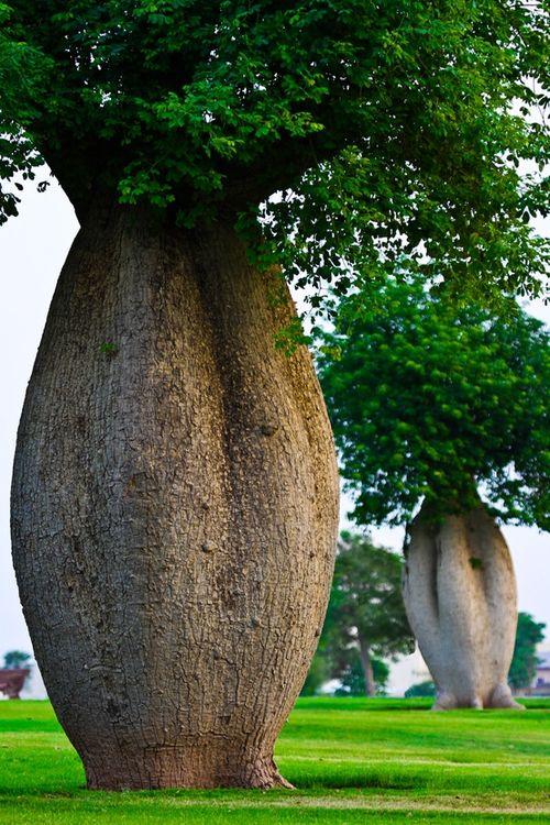 Toborochi-Tree