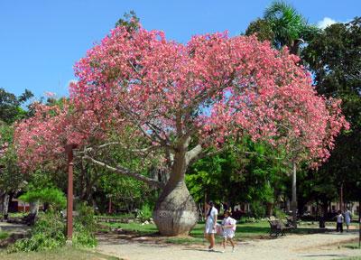Toborochi-tree-flower-blossoming
