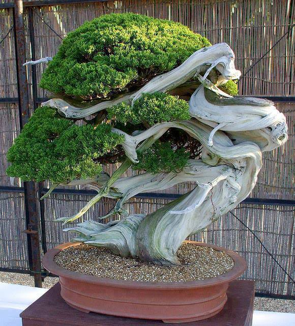amazing-bonsai