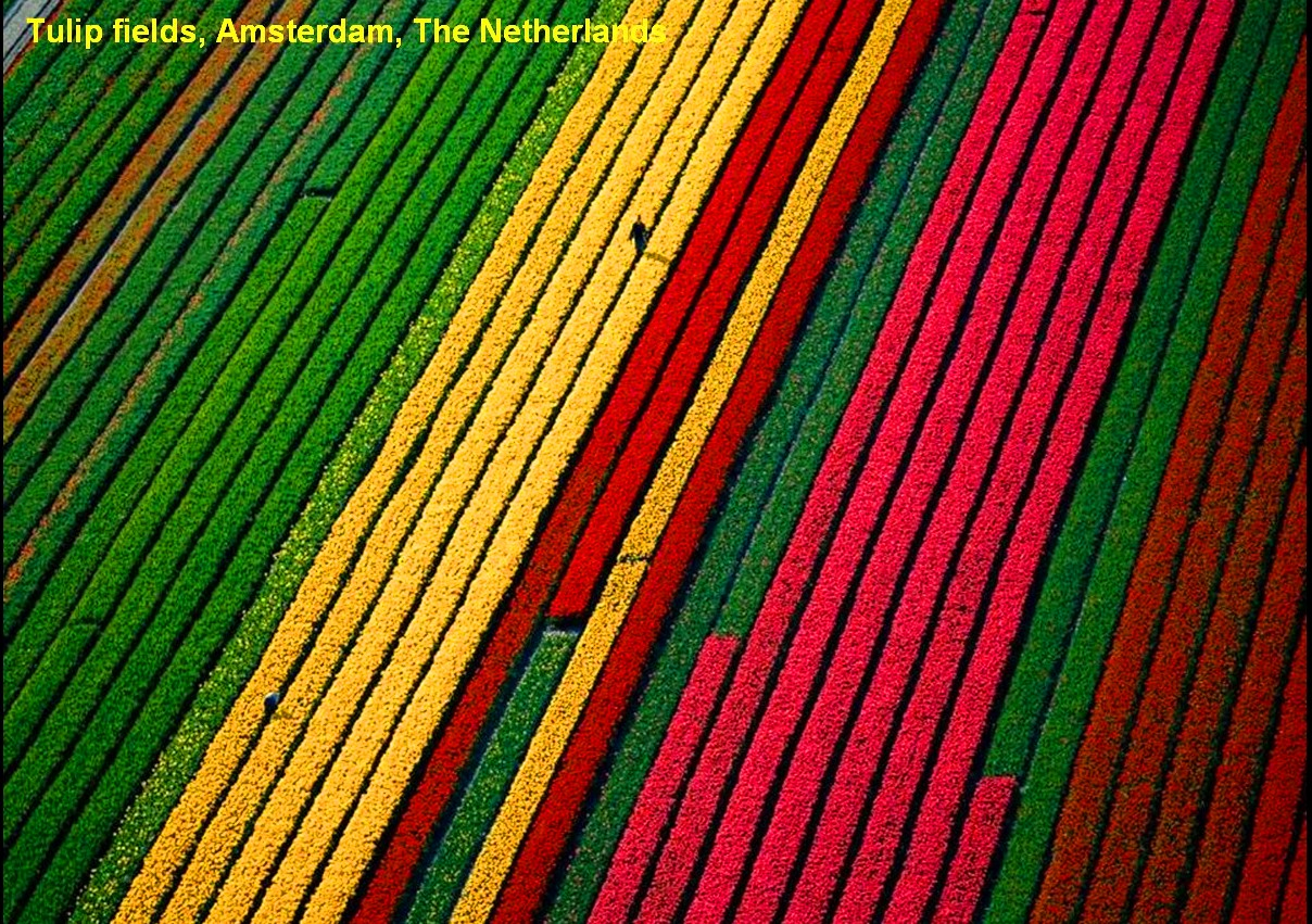 amsterdam-netherland-tulip-fields-looks-awesome