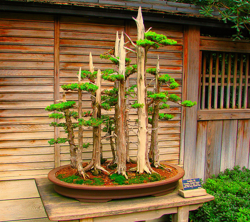 bonsai-a-japanese-term