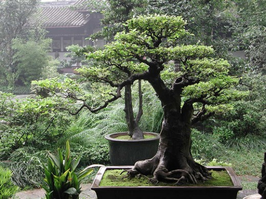 bonsai-tree-great-for-indoor-gardening