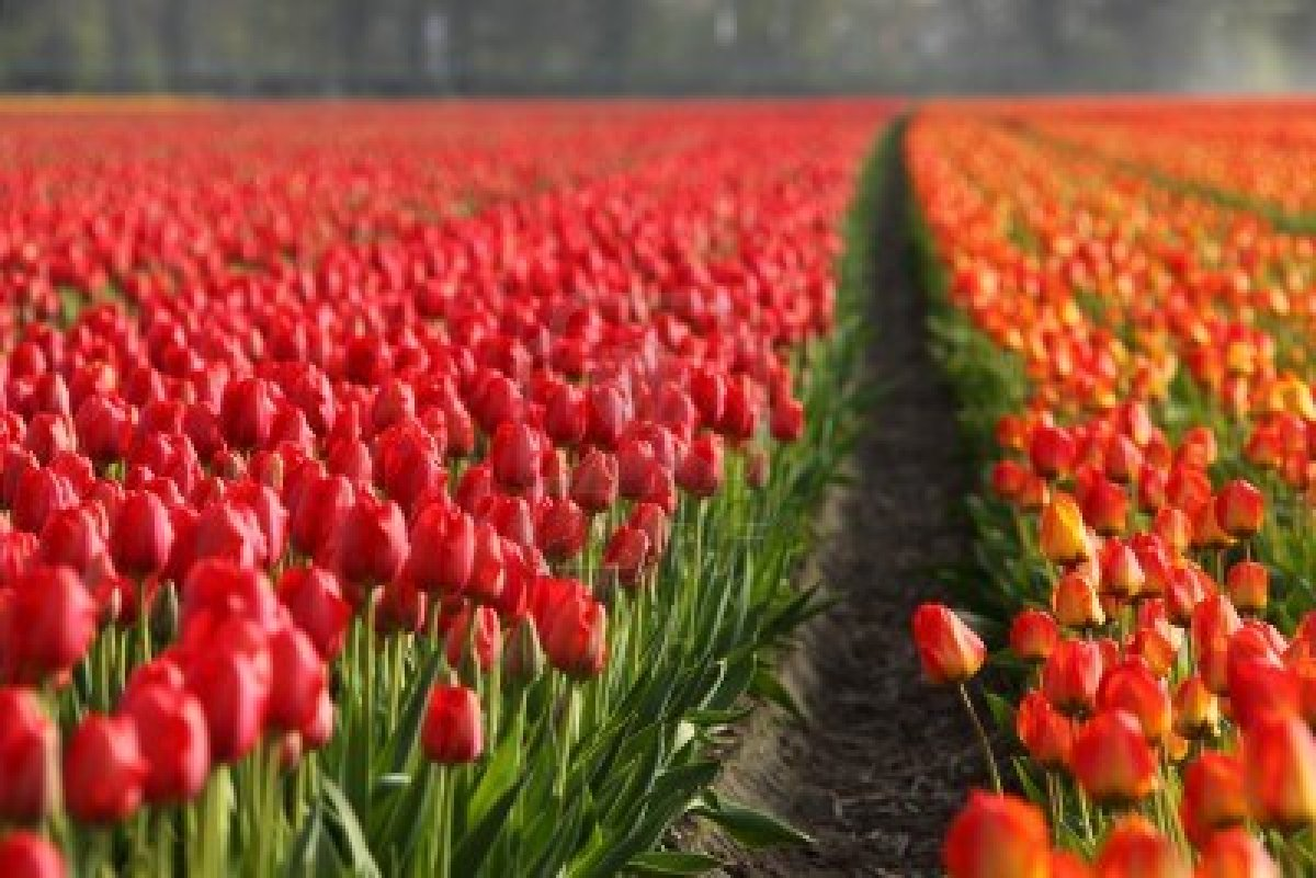 close-photos-of-tulip-fields-in-holland