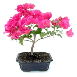 flower-blossoms-in-bonsai-tree