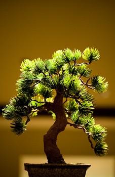 juniper-bonsai