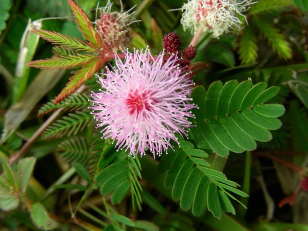 mimosa-pudica- pale-pink-purple-flower