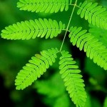 Mimosa Pudica or Sensitive Plant