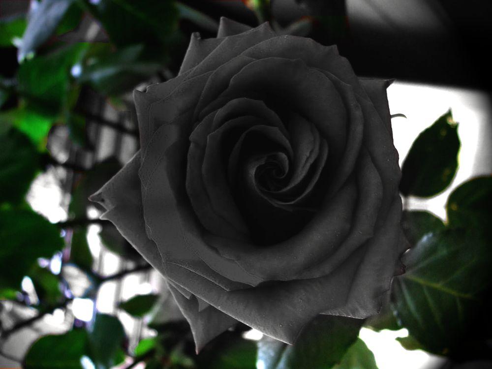 natural-black-rose-turkey-village-Halfeti