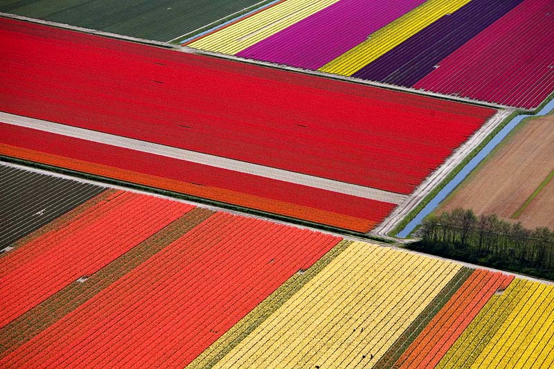 red-tulip-fields
