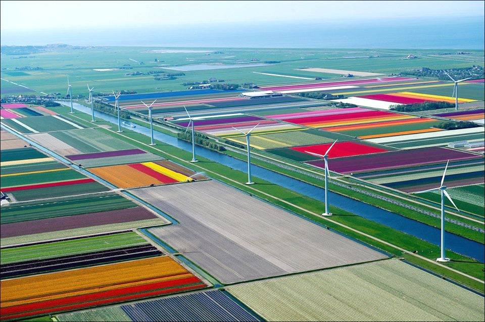 tulip-field-in-holland