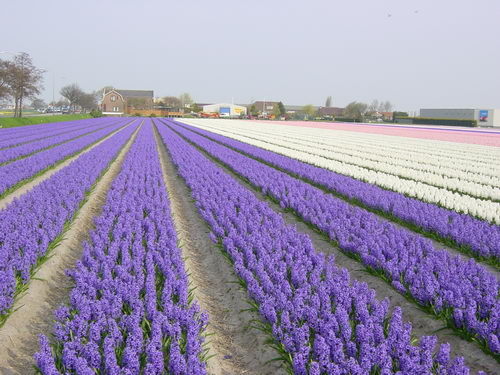 violet-white-flower-blossoms-in-netherland-field