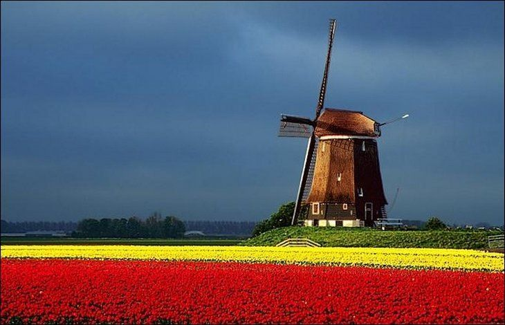 windmill-in-holland-tulip-field