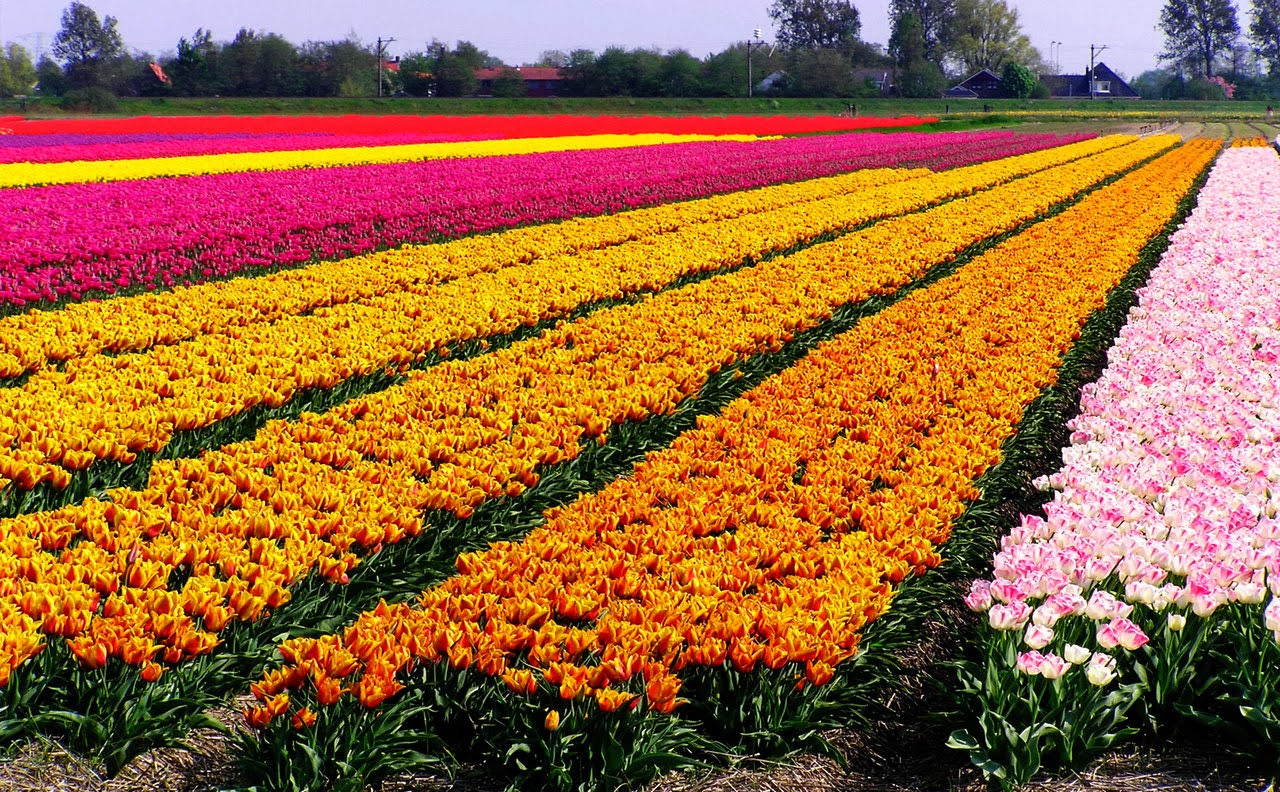yellow-pink-red-white-tulips-in-netherland
